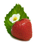 开花strawberrys 免版税库存照片