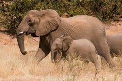 离开走在Huab谷的大象和小牛 免版税图库摄影