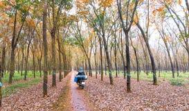 开车回家在工作以后的农夫在橡胶园在秋天晒干叶子 库存图片
