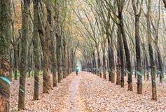 开车回家在工作以后的农夫在橡胶园在秋天晒干叶子 库存照片