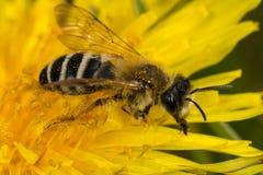 开采的蜂(Andrena孕妇) 免版税库存照片