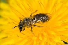 开采的蜂(Andrena sp ) 免版税库存图片