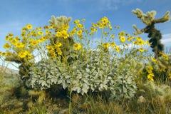 离开金黄色花和仙人掌在春天在土狼峡谷, Anza-Borrego沙漠国家公园,靠近Anza博雷戈斯普林斯,加州 免版税图库摄影