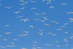 离开从太阳的盐水湖的燕鸥巨大的群  免版税图库摄影