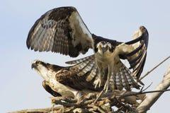 离开从它的巢的白鹭的羽毛(Pandion Haliaetus) 免版税图库摄影