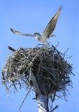 离开从它的幼小白鹭的羽毛是巢 免版税库存图片
