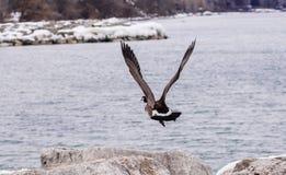 离开从岩石的加拿大鹅 库存图片