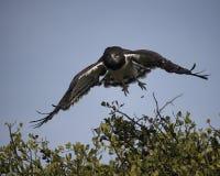 离开从树飞行的一只黑有胸腔的猎兔犬老鹰的特写镜头frontview有蓝天背景 免版税库存照片