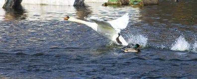 离开从湖池塘河的天鹅 免版税库存图片