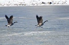 离开从冻湖的两只加拿大鹅 库存图片