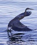 离开从水的一个伟大蓝色的苍鹭的巢的美丽的照片 免版税图库摄影