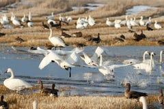 离开从水的寒带苔原天鹅 免版税库存照片