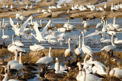 离开从水的寒带苔原天鹅 库存照片