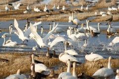 离开从水的寒带苔原天鹅 免版税库存图片