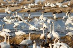 离开从水的寒带苔原天鹅 免版税图库摄影