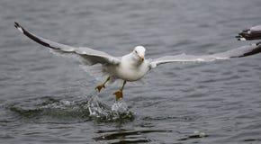 离开从水的鸥的被隔绝的照片 免版税库存图片