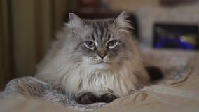 异乎寻常的与蓝眼睛的内娃化妆舞会西伯利亚猫面对紧密-在家放松与显示vlogger的片剂 股票录像