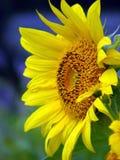 异乎寻常的向日葵 免版税库存照片