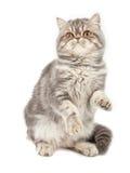 异乎寻常的头发的小猫短小 免版税库存照片