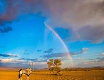 异乎寻常的旅游业的概念在Namib-Naukluft国家公园,纳米比亚 站立在壮观的彩虹下的羚羊羚羊属 的treadled 免版税图库摄影