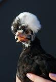 异乎寻常的母鸡 图库摄影