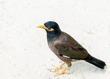 异乎寻常的泰国鸟myna平凡,蝗虫椋鸟,谈的鸟模仿鸟,站立在白色沙子 免版税库存照片