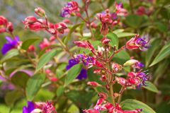 异乎寻常的热带紫色和桃红色花 免版税图库摄影