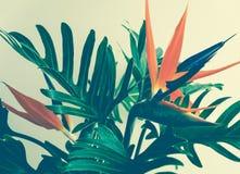 异乎寻常的热带花strelizia和xanadu叶子 免版税图库摄影
