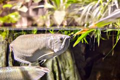 异乎寻常的热带鱼变成银色在自然生态enviro的Arowana 免版税图库摄影