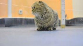 异乎寻常的猫在大屋子里 股票视频