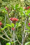 异乎寻常的红色花在特里凡德琅特里凡得琅,印度,喀拉拉城市庭院里  库存照片