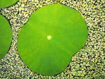 异乎寻常的绿色莲花叶子在池塘 库存图片