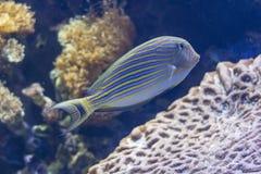 异乎寻常的色的鱼 免版税库存照片
