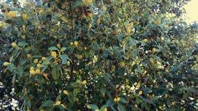 异乎寻常的芒果树用果子 股票视频