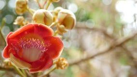 异乎寻常的花和树 危险大强有力的绿色热带树炮弹salalanga开花的美丽的桔子 影视素材