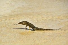 异乎寻常的蜥蜴 免版税库存图片