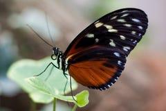 异乎寻常的蝴蝶种类拍摄了在一个热带庭院里面 免版税库存照片