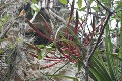 异乎寻常的野花,巴拉德罗角,古巴 库存照片
