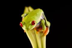 异乎寻常的青蛙 库存照片