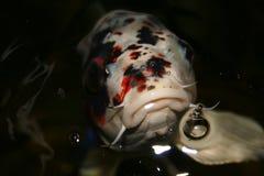 异乎寻常的鱼日本koi 免版税库存图片