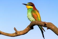 异乎寻常的鸟坐一个分支春天早晨 图库摄影