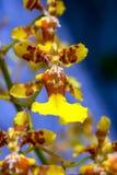 异乎寻常的黄色gomesa兰花花 免版税库存图片