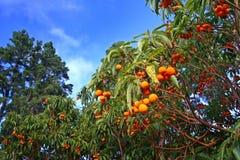 异乎寻常的la橙色palma结构树 免版税库存图片