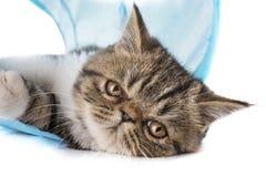 异乎寻常的shorthair小猫 库存图片