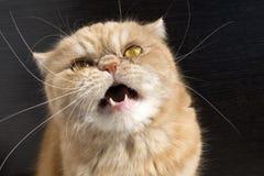 异乎寻常美丽的红色的猫 免版税图库摄影