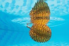 异乎寻常的亚洲多刺的果子留连果水下的背景  免版税库存图片