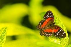 异乎寻常的在充满活力的颜色的蝴蝶极端宏观射击 幼虫 免版税库存图片
