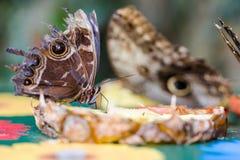 异乎寻常的在充满活力的颜色的蝴蝶极端宏观射击 苍白o 免版税库存照片