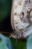 异乎寻常的在充满活力的颜色的蝴蝶极端宏观射击 苍白o 免版税库存图片