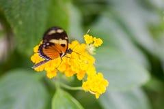 异乎寻常的在充满活力的颜色的蝴蝶极端宏观射击 Papili 库存照片